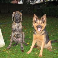 Deutsche_Dogge_Escroc_und_Amy.jpg