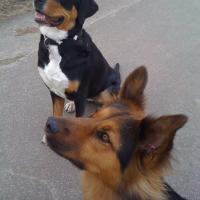 Gro_er_Schweizer_Sennenhund_Wilma_und_Amy.jpg