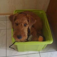 Irish_Terrier_Quincy.jpg