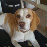 Beagle_Bonja.jpg