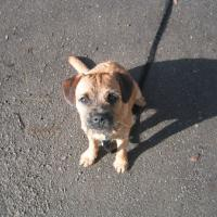 Border_Terrier_Max.jpg