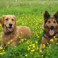 Golden_Retriever_Benny_und_Amy.jpg